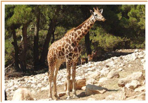 Fotos de animales jirafa
