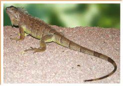 Fotos de animales lagarto