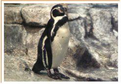 Fotos de animales pingÜino