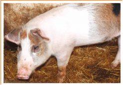 Fotos de animales cerdo