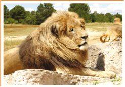 Fotos de animales leon